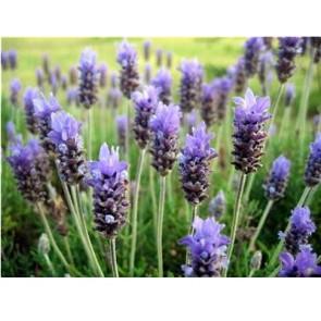 Perfume / fragrance oil Lavender