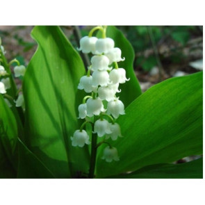 Perfume / fragrance oil Lily of the Valley (Decoration only)