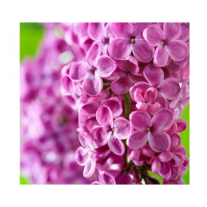 Perfume / fragrance oil Lilacs (Decoration only)