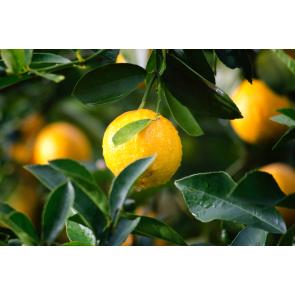 Perfume / Fragrance Lemon Twist